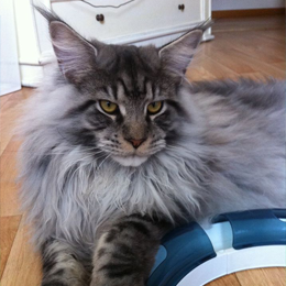 Chat Maine Coon Normandie